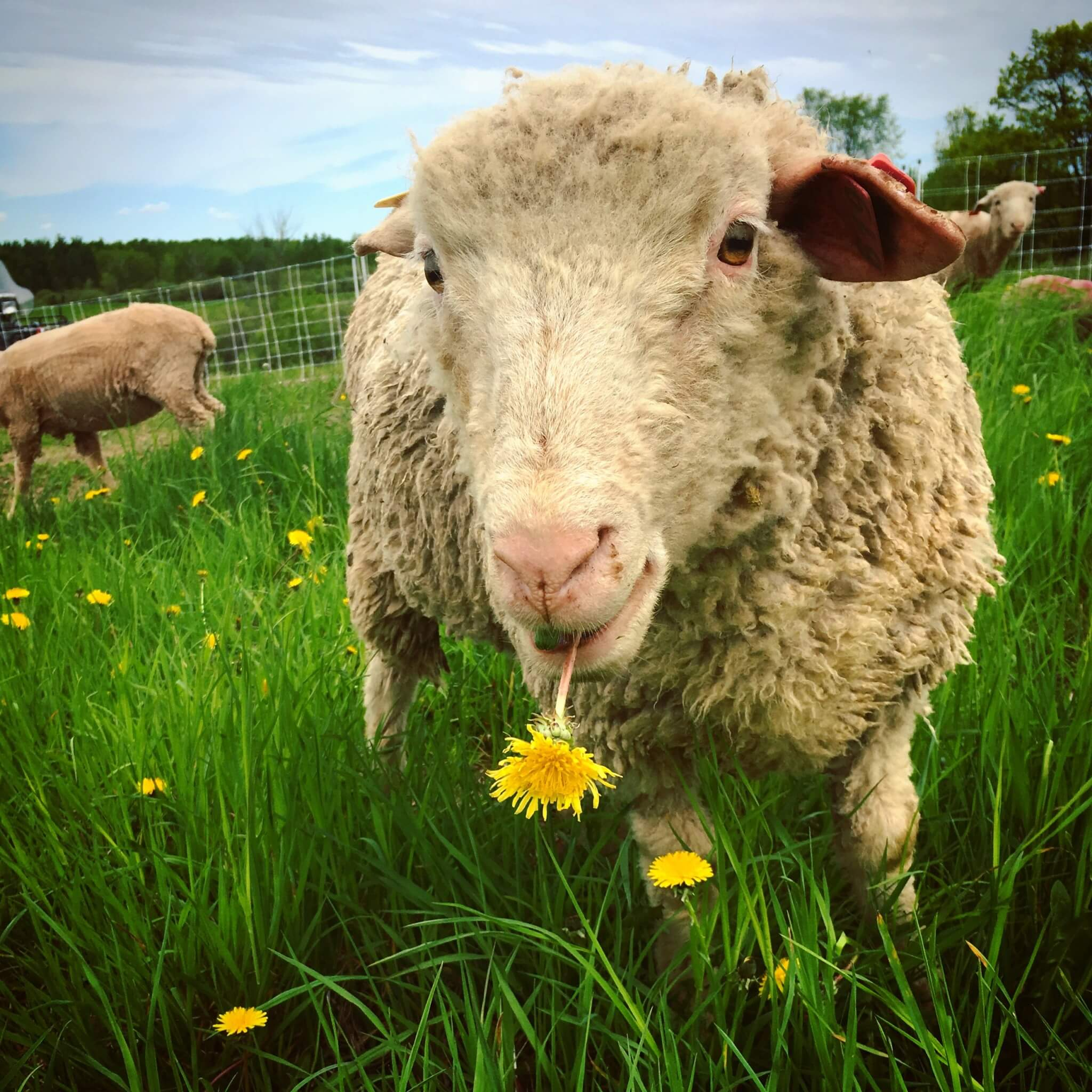 Sheep named Thomas standing in a grassy field eating dandelions.