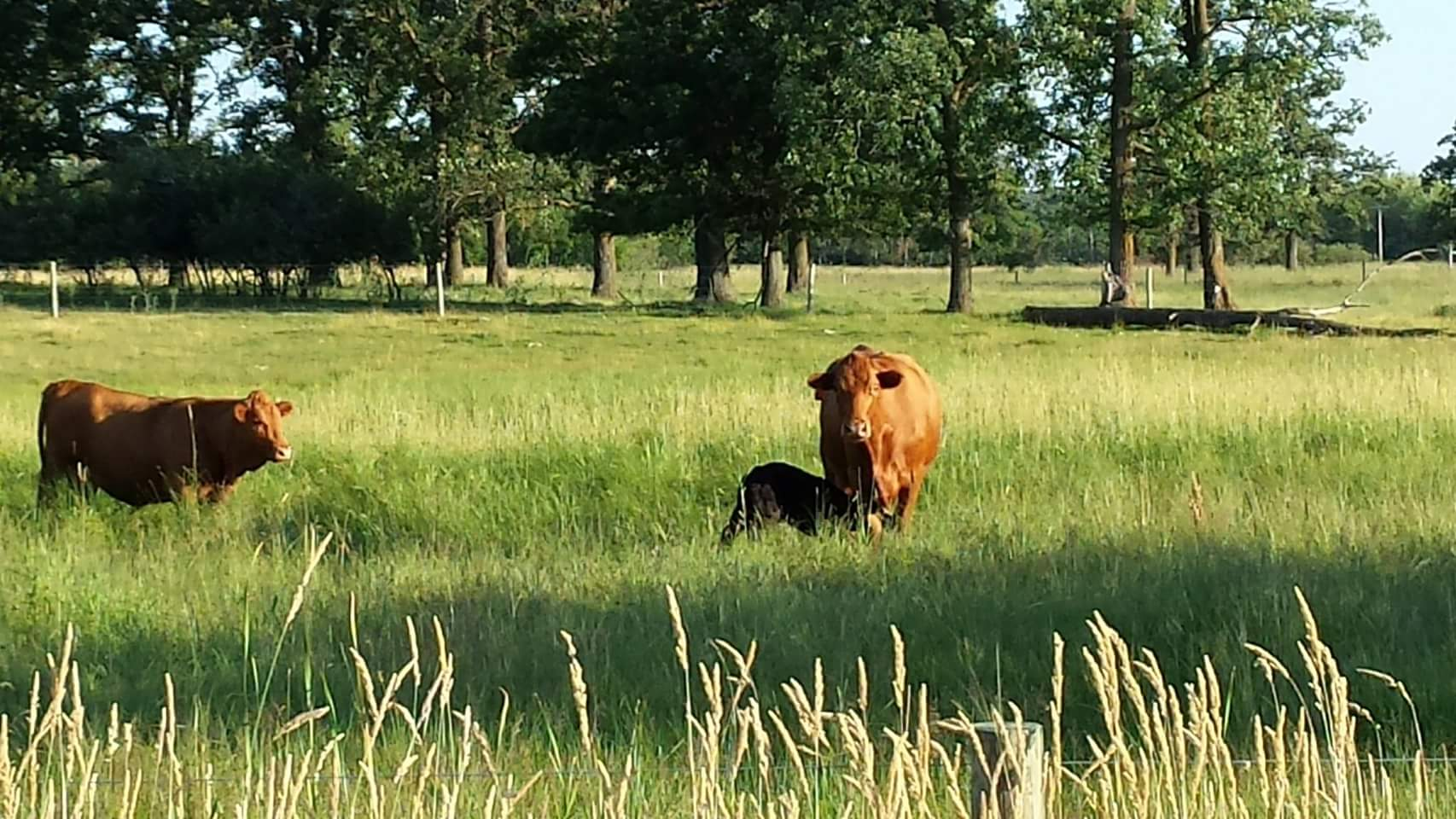 cow with calf in pasture
