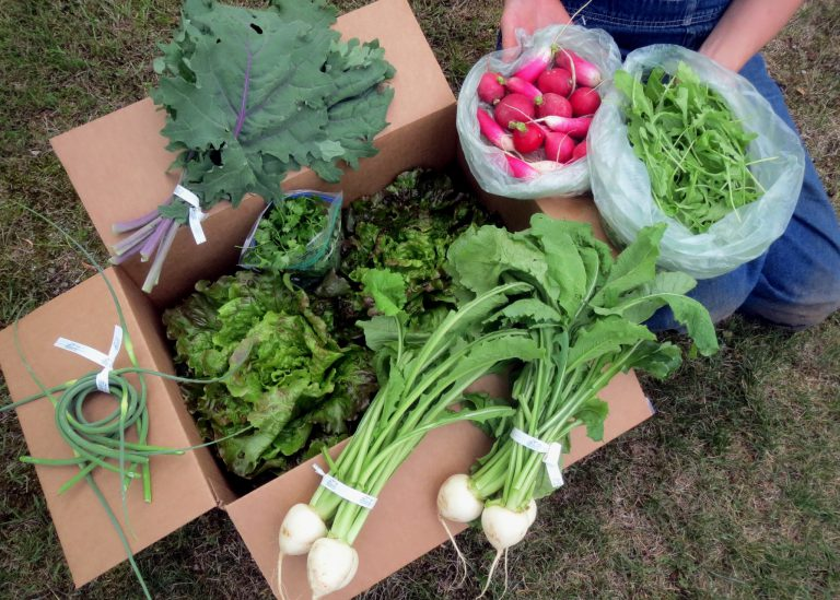 CSA share consising of greens, onion, and radishes.