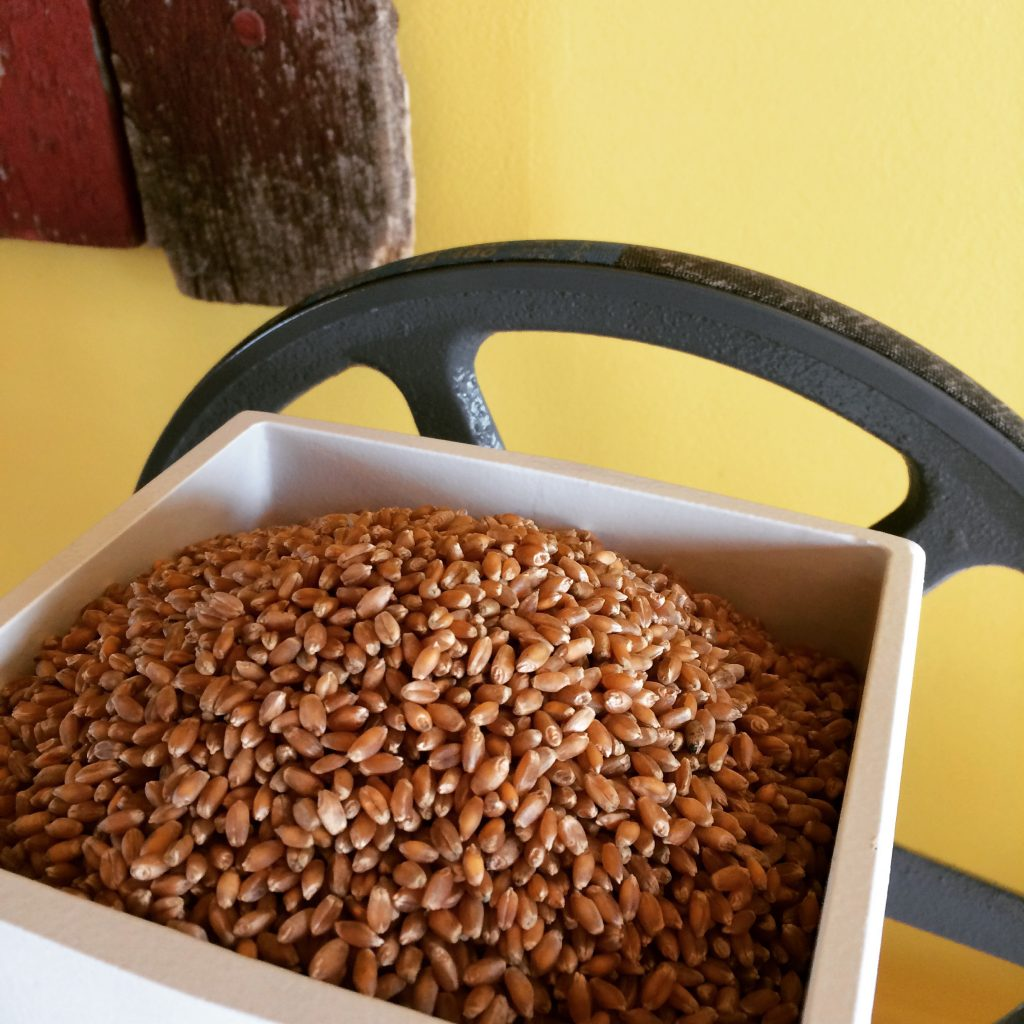Wheat in a white container