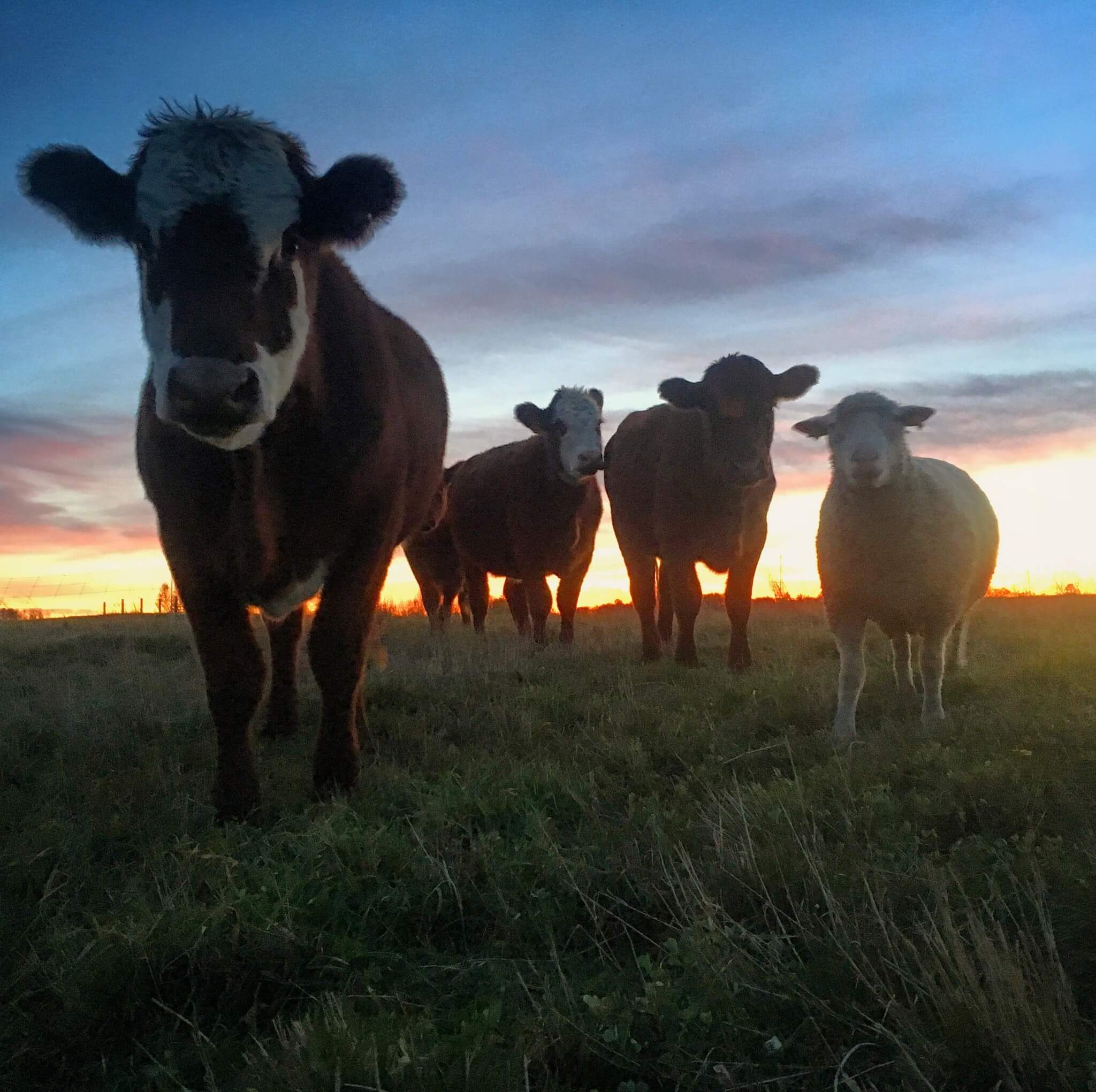 Cows in the field at sunset