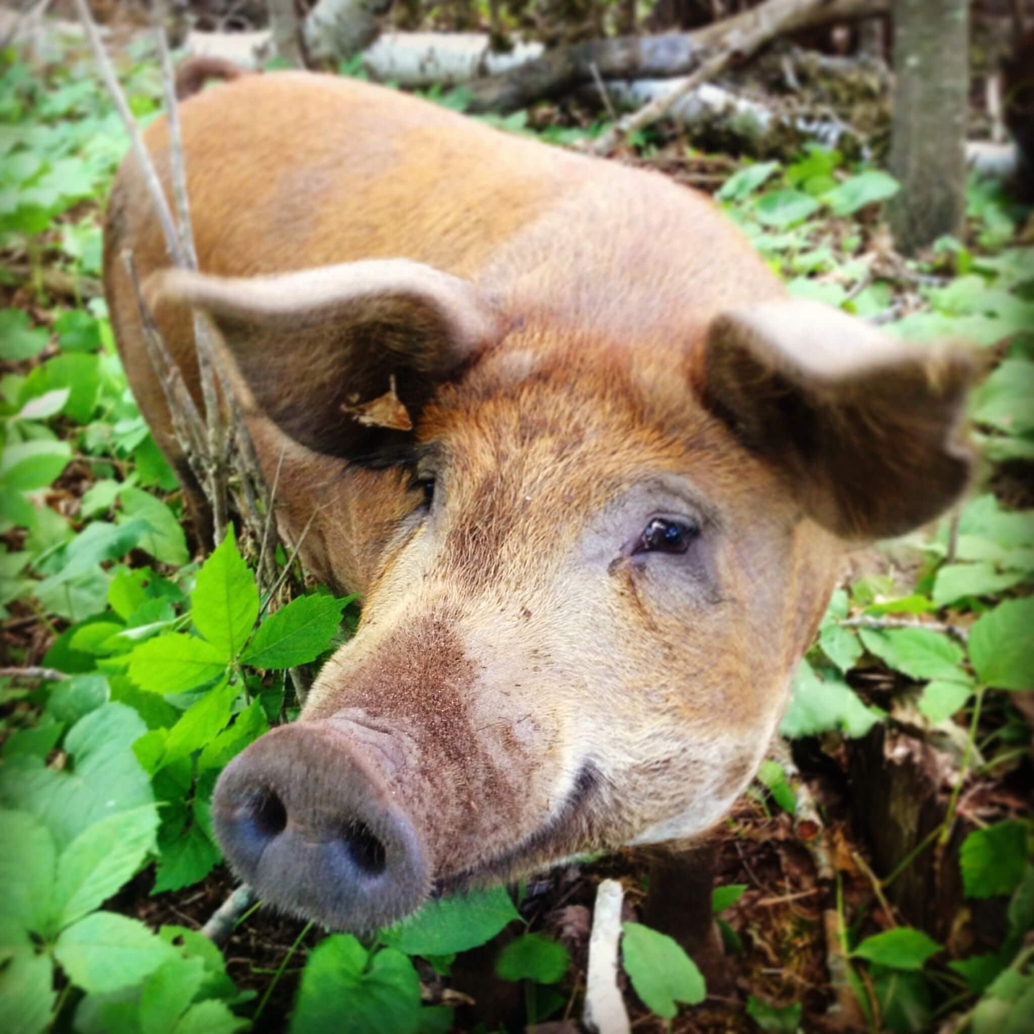 Brown pig standing in the grass smiling