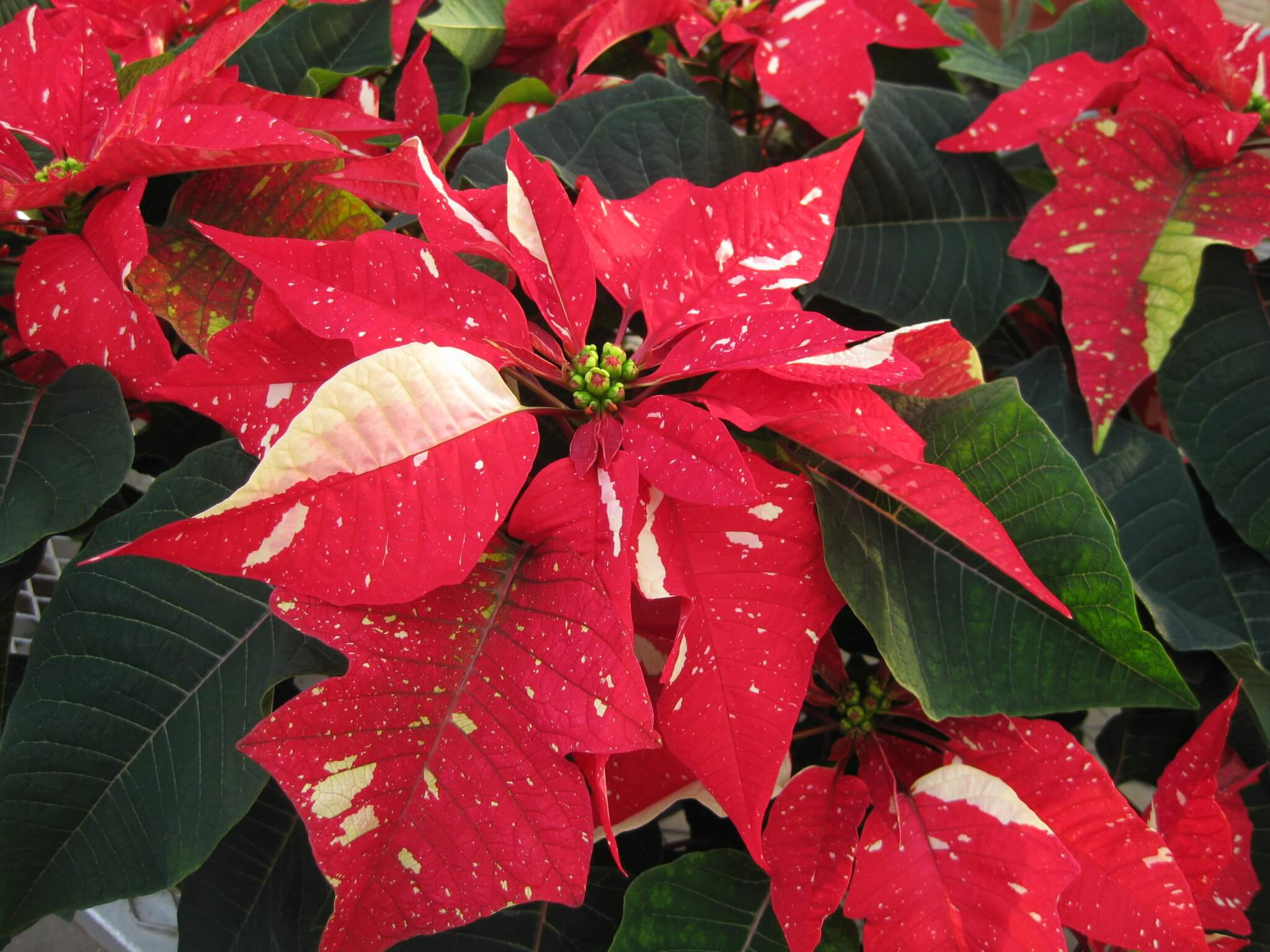 Mixed color poinsettia