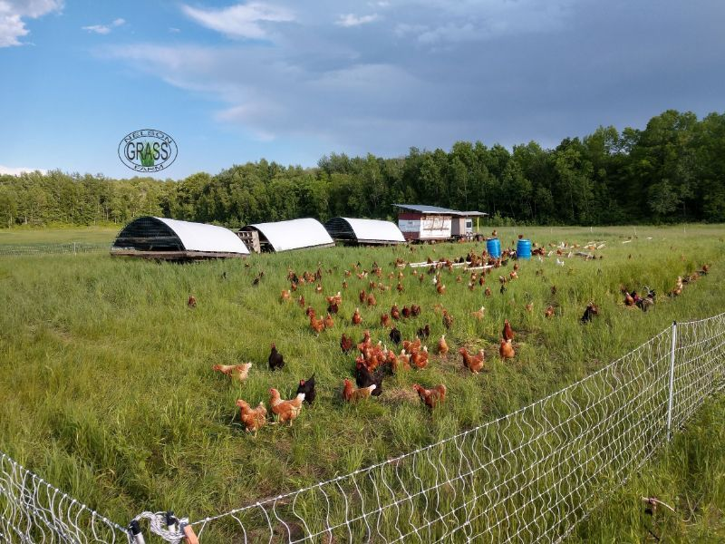chickens in field