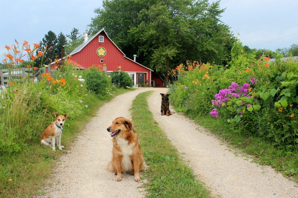 Farm dogs on a road in front of a red barn.