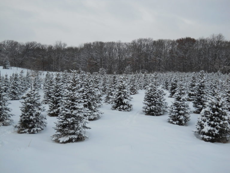 field of snow covered christmas trees
