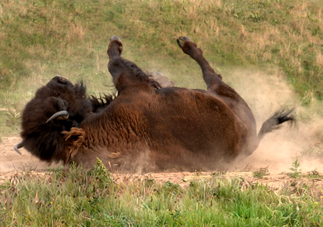 Bison rolling and kick up dust