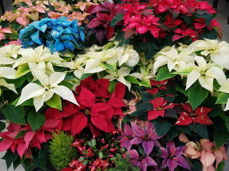 Variety of poinsettias
