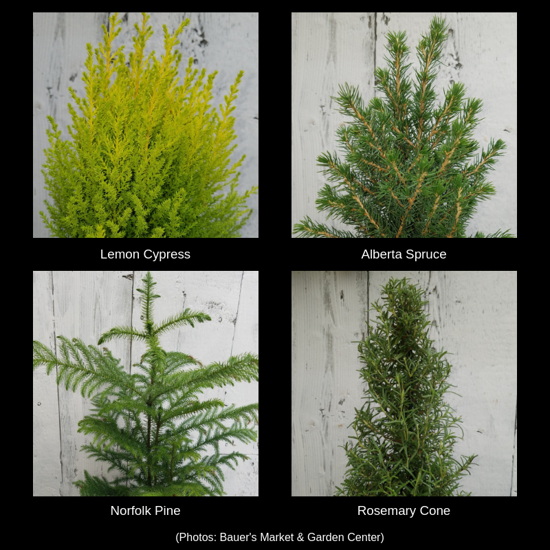 Photos of 4 mini tree options: lemon cypress, alberta spruce, norfolk pine, and rosemary cone