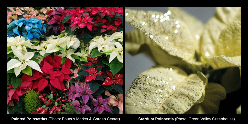 Painted and stardust sparkly poinsettias