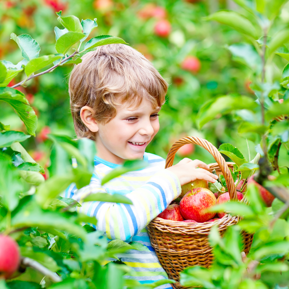 little boy picking apples