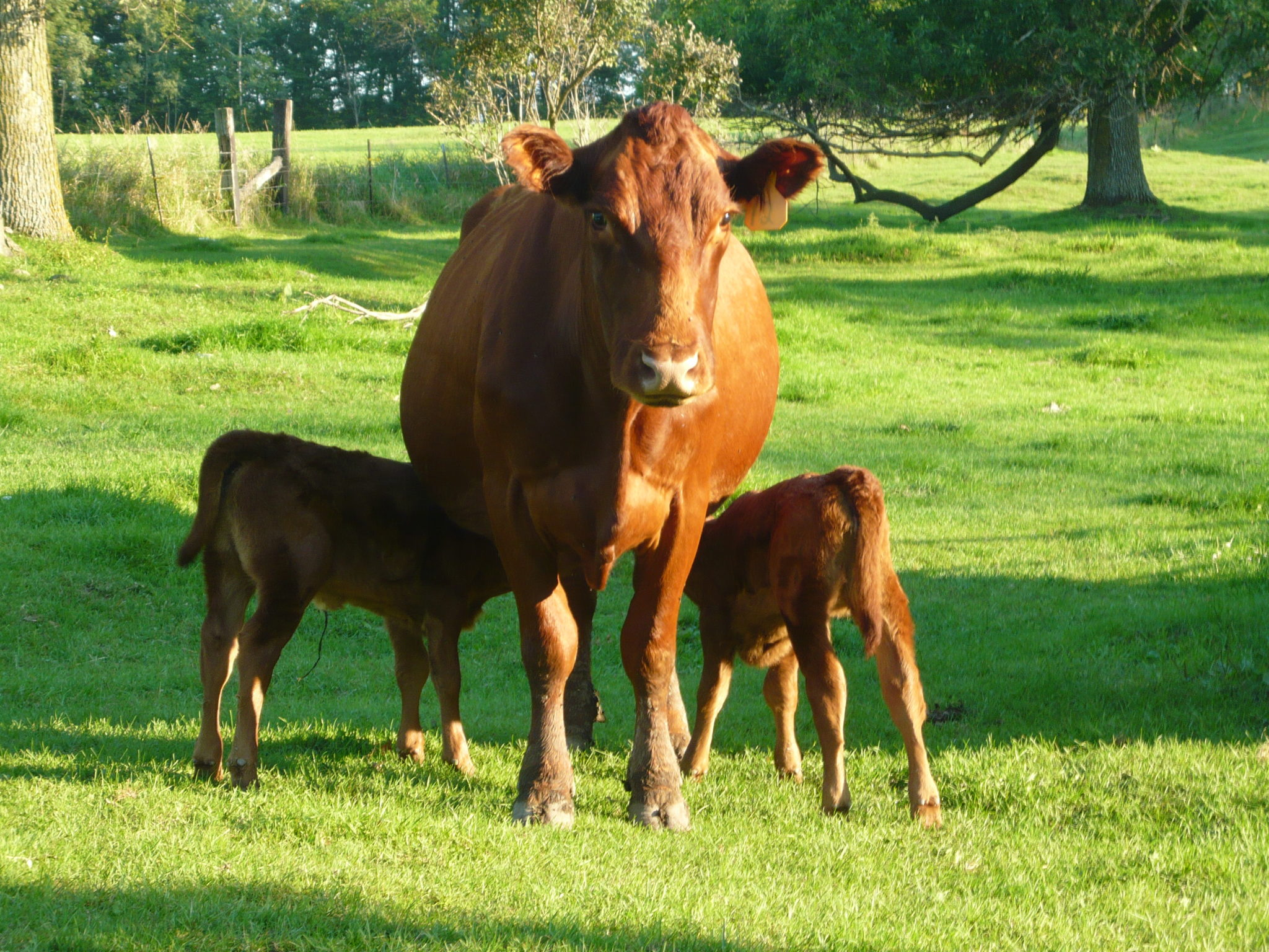 Brown cow with twin calves