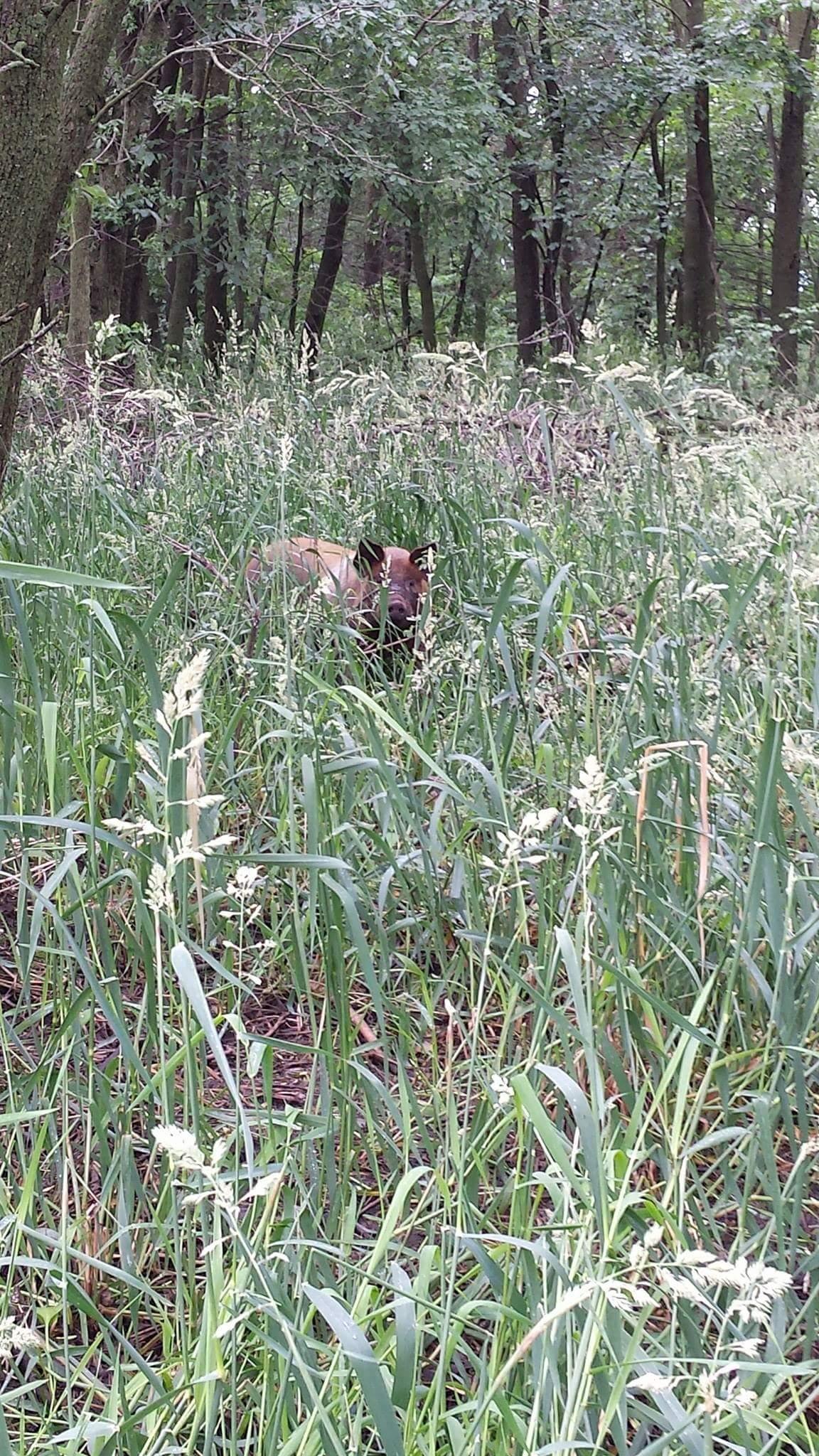 hog grazing in tall grass