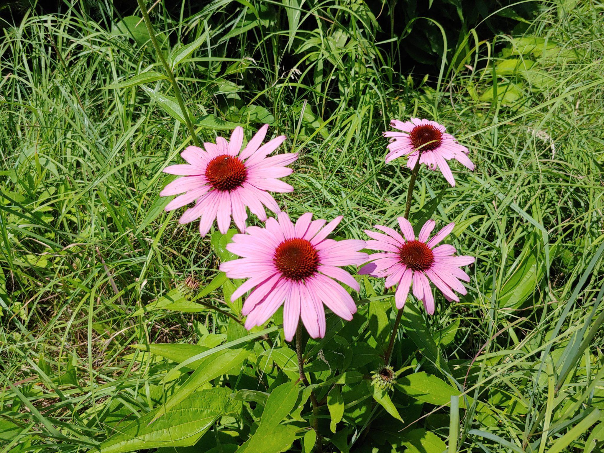 cone flowers pollinator habitat