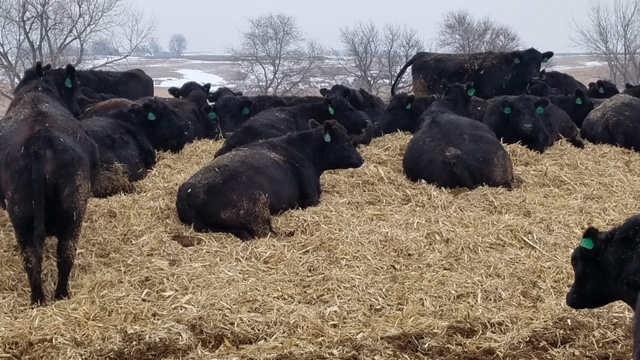 black cattle resting on mound outdoors during winter