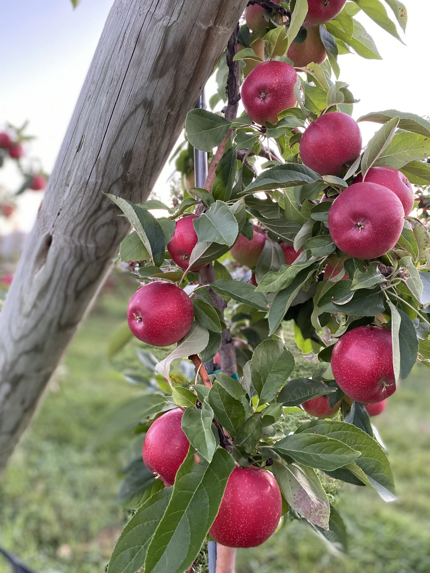 2020.9.3 Taken Pine Tree Orchard Apples on tree 3