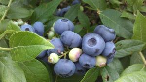 BlueberryFieldsofStillwater2 2014