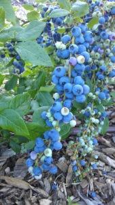 BlueberryFieldsofStillwater 2014