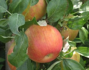 Picture of Honeycrisp apple ready to be picked