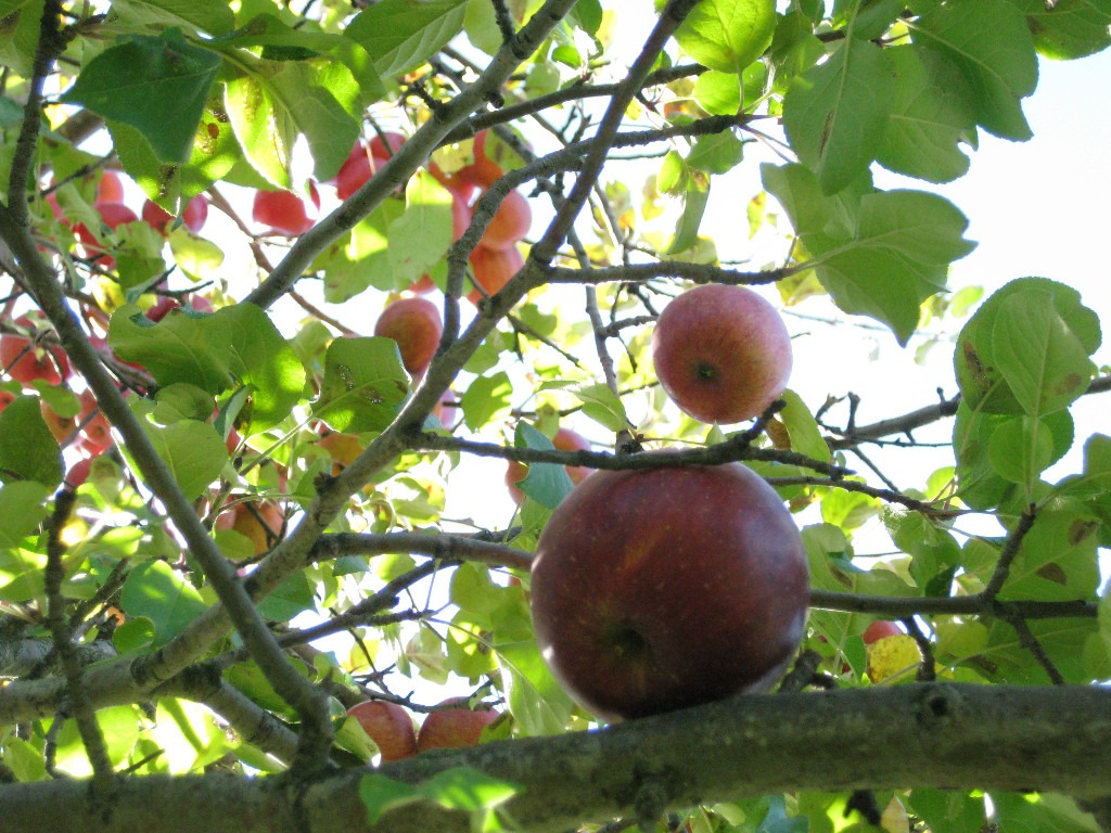 Picture of red, ripe MN apples on tree