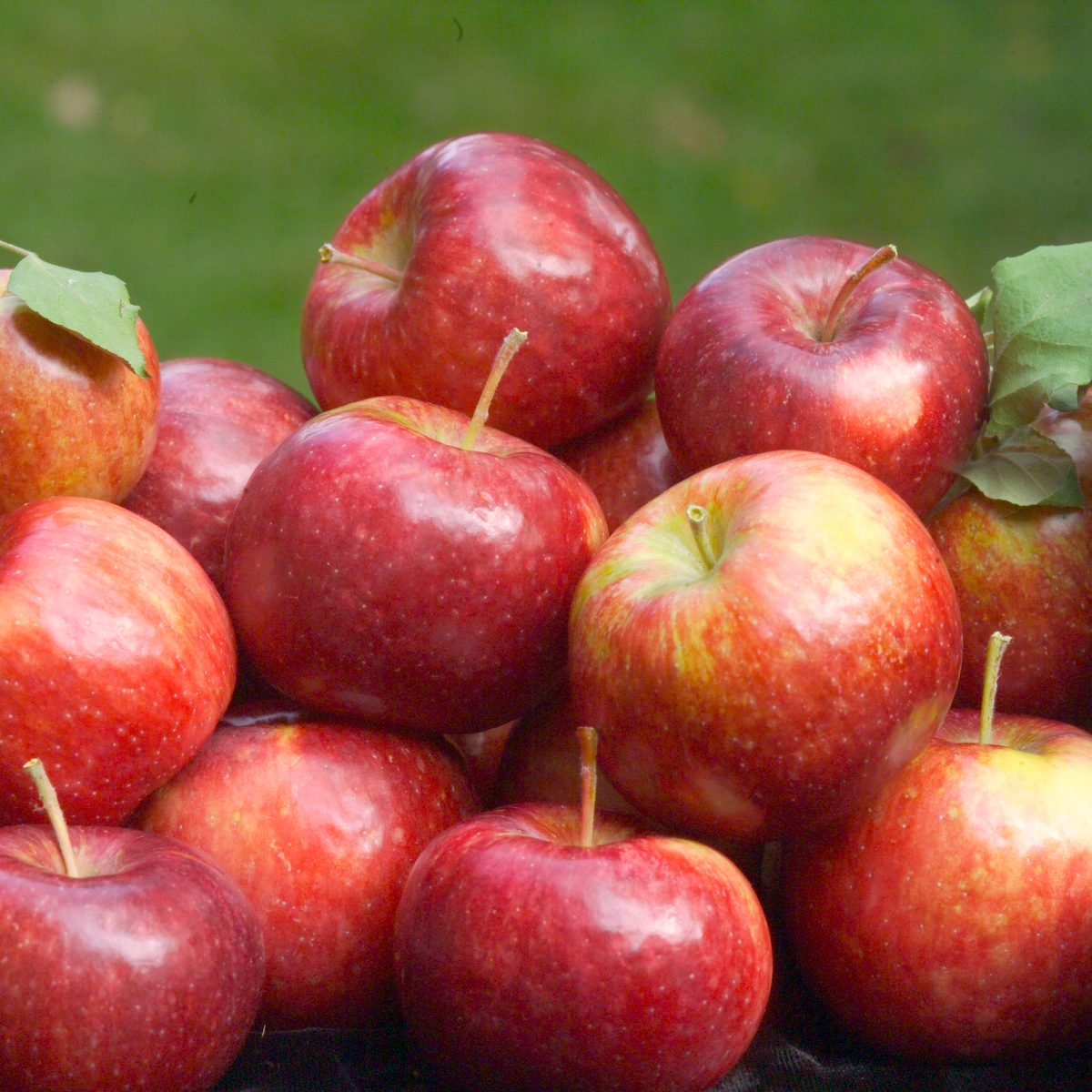 'Frostbite' apple developed by the University of Minnesota and released by the U of MN Agricultural Experiment Station in 2008