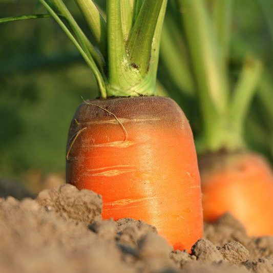carrot peeking out of the dirt