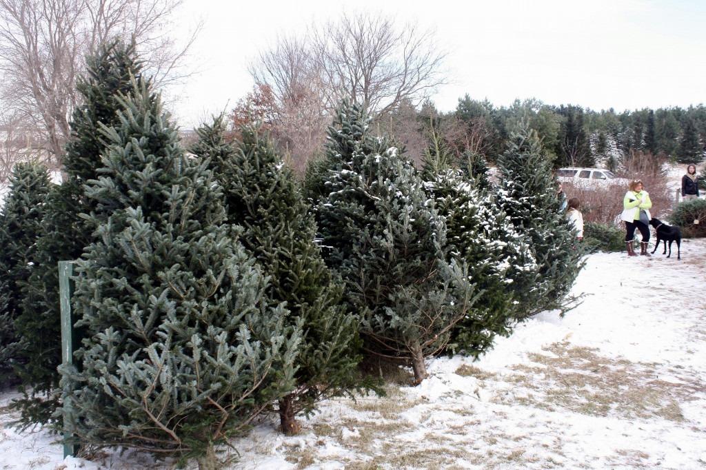 Minnesota Grown Christmas Trees